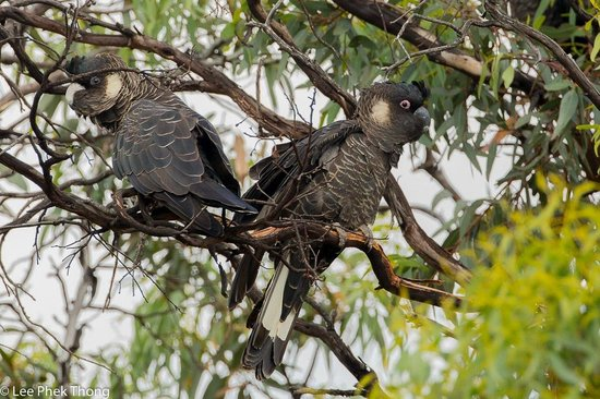 Stirling Range Retreat: Carnaby's Black Cockatoo