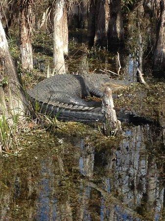 Big Cypress National Preserve: gator seen along the loop road