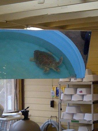 Georgia Sea Turtle Center: turtle in recovery tank