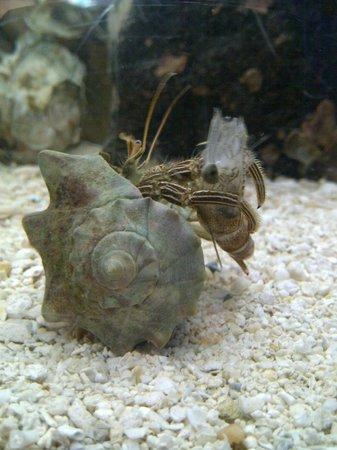 Georgia Sea Turtle Center: crab enjoying shrimp dinner