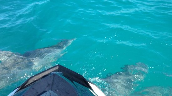 Boqueron, Puerto Rico: The dolphin will go right under our sks!