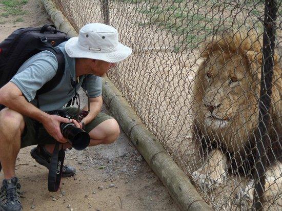 Moholoholo Wildlife Rehab Centre: Lion at Moholoholo