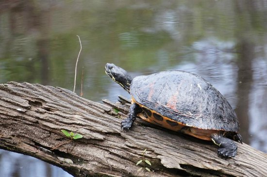 Six Mile Cypress Slough Preserve: turtle