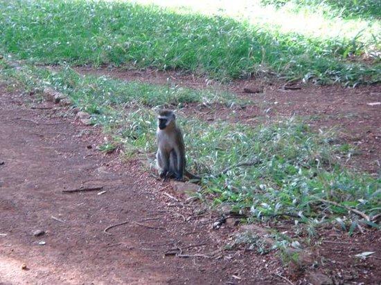 Nairobi Arboretum: Singe