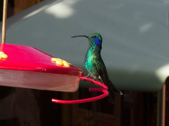 Savegre Hotel, Natural Reserve & Spa: At least 4 kinds of hummingbirds swarm to the feeders