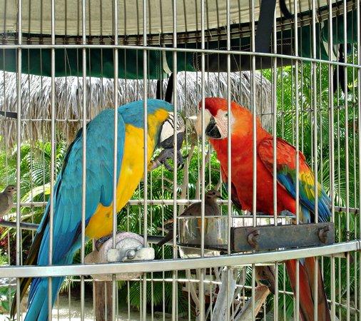 Hyatt Regency Aruba Resort and Casino: Parrots by the pool