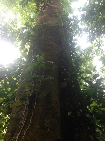 Bosque del Cabo Rainforest Lodge : STRANGLER TREE