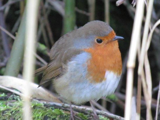 RSPB Leighton Moss Nature Reserve: friendly robin