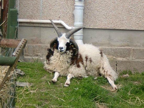 The Scottish Wool Centre: Schottisches Schaf