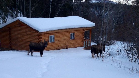 Homestead Guest Cabins: A moose and her yearling right outside Cabin #2