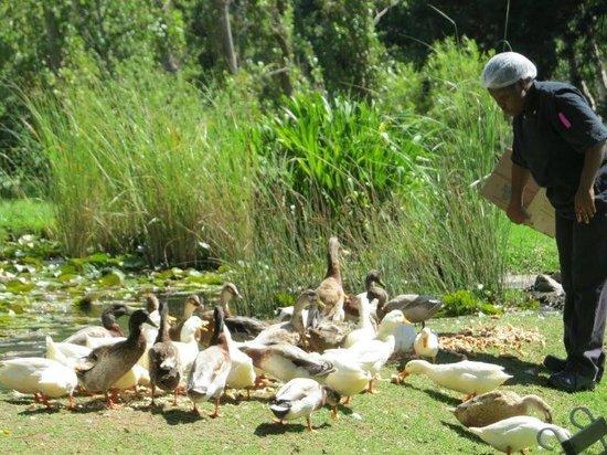 Houw Hoek Hotel: duck feeding time