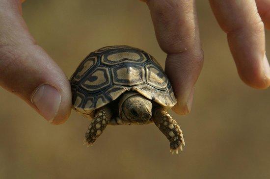 Arathusa Safari Lodge: Baby Tortoise