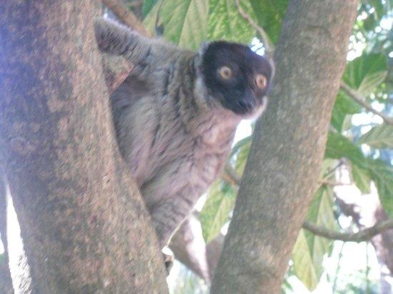 Orangea Village: lemure