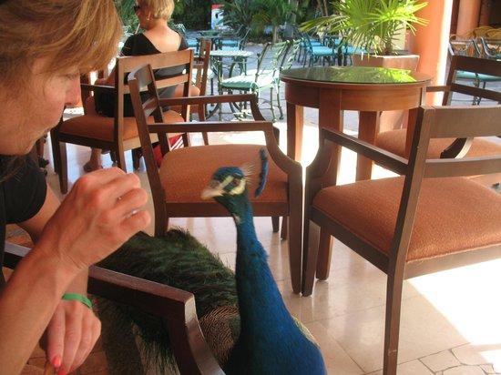 Grand Palladium Vallarta Resort & Spa: peacock visiting as we were sitting in the lobby bar