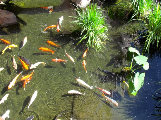 Ka'anapali Beach Club: One of several koi ponds