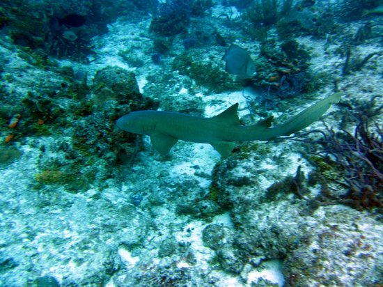Occidental Cozumel: Nurse shark, quite harmless