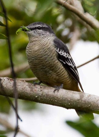 Montville Grove: Australian native bird