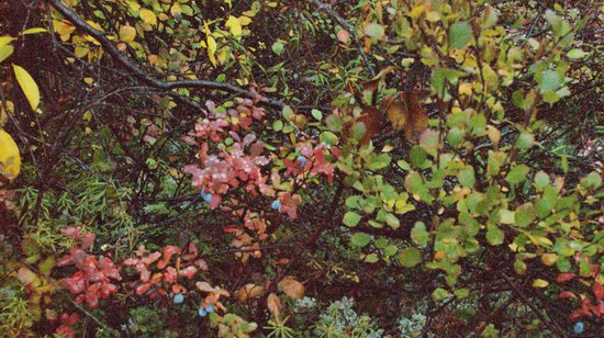 Best of Alaska Denali Jeep Backcountry Safari: Wild berry bushes-hard to see berries because of rain