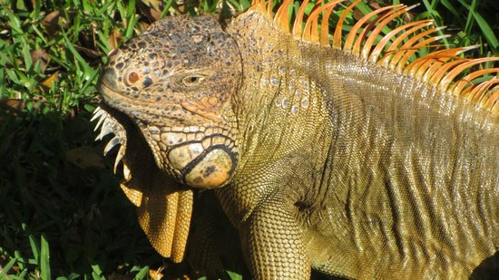 Occidental Cozumel: One of the many iguanas that live here.