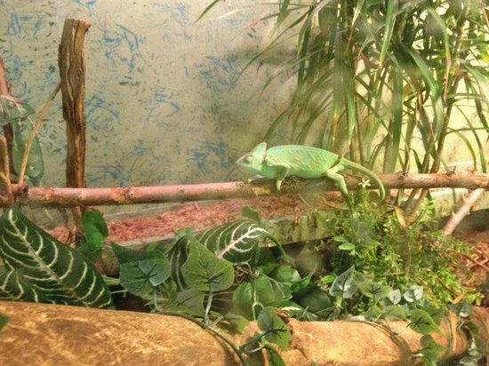 Reptile World: Another Chameleon