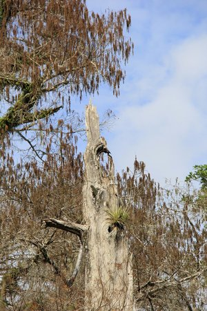 Corkscrew Swamp Sanctuary: walk1