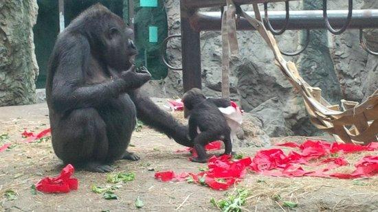 The Buffalo Zoo: gorillas