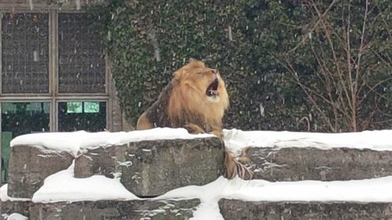 The Buffalo Zoo: Lion