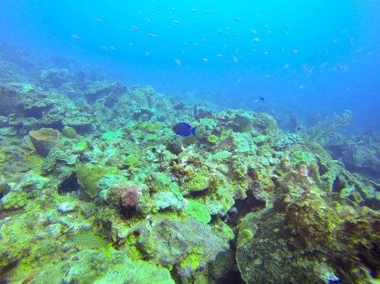 Fort Young Hotel : live coral, Dory