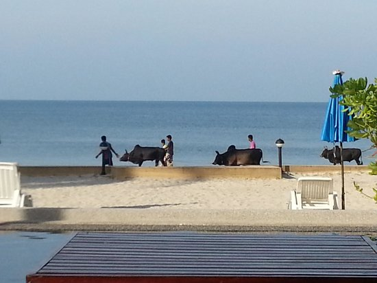 The Beach Boutique Resort : Boys taking cows for a walk