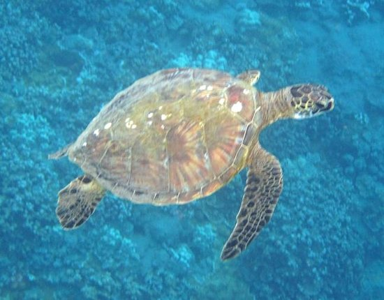Molokini Crater: Green turtles will swim up to you if you remain still and just float.l