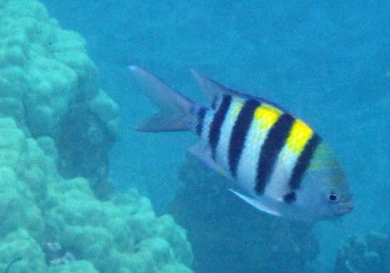 Molokini Crater: Just one of many different species of tropical fish seen snorkeling