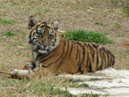 San Antonio Zoo: Tiger cub