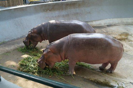 Dusit Zoo: Бегимоты