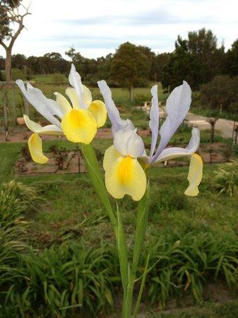 Craythorne Country House: Yellow & Purple Iris