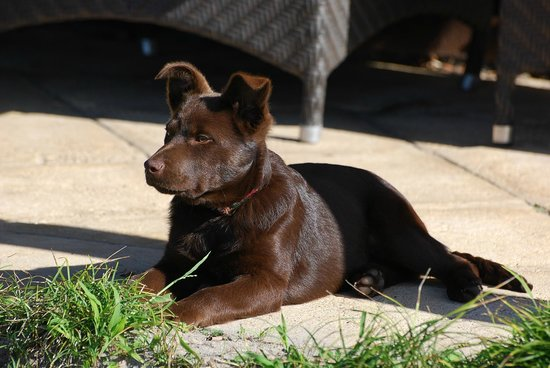 Craythorne Country House : Scout- Red Cloud Kelpie