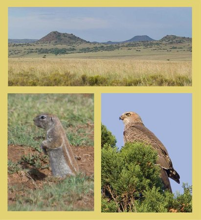 Trading Places Guest House: Veld and fauna at Smithfield: meerkat and immature Pale Chanting Goshawk