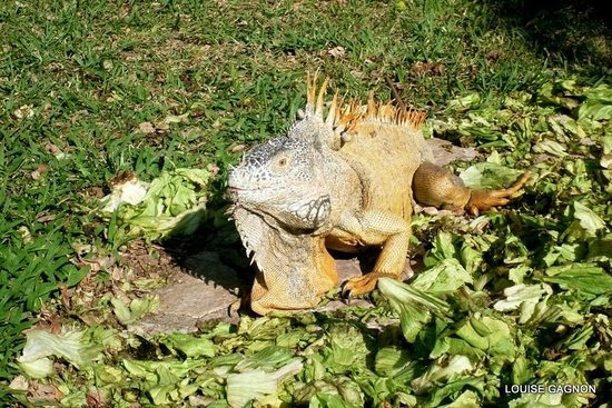 Royal Decameron Complex: pancho just kidding lol is not in my bathroom he is in the inguana tree