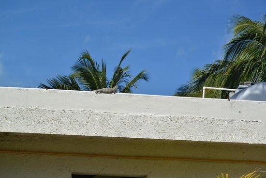 Playa La Media Luna Hotel : A lizard on trop of the bungalows.