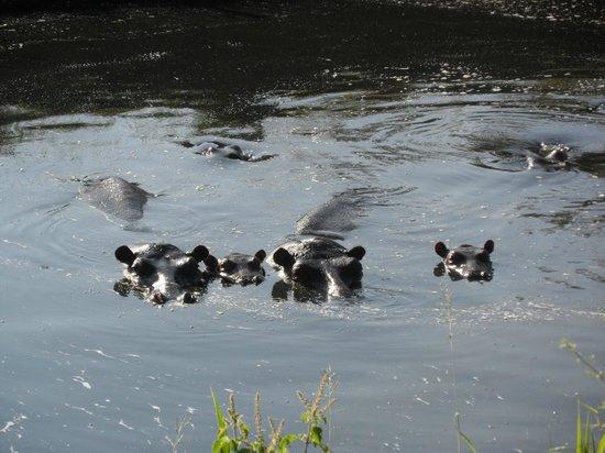 Basecamp Masai Mara: A curious hippo family..