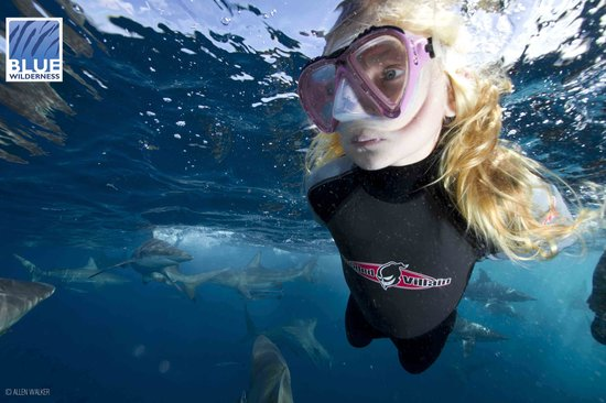 Blue Wilderness Shark Adventures: Shark snorkeler swims with blacktip sharks of Aliwal Shoal