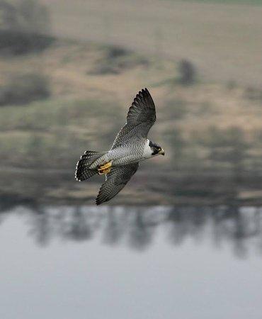 Old St Leonard's Manse: Peregrine in flight. Kinnoull. by Gavin Matthews