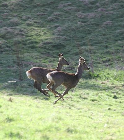Old St Leonard's Manse: Running deer on Kinnoull Hill by Gavin Matthews