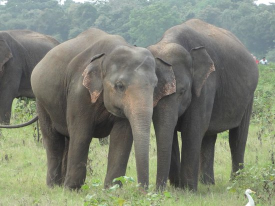 Kaudulla National Park : relaxed herd