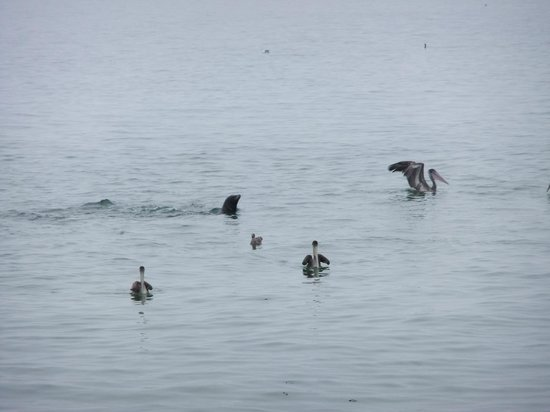 Point Lobos State Reserve : Тюлени, пеликаны и чайки: общая охота