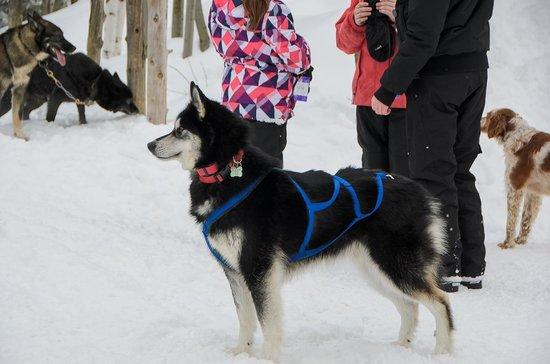Chenil La Poursuite: One of the huskies