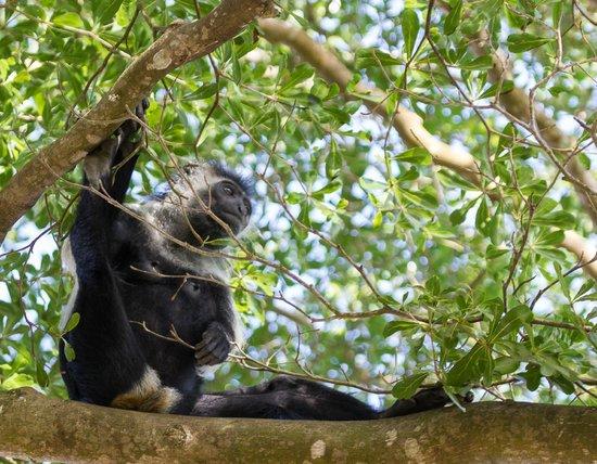Pinewood Beach Resort & Spa: Colobus vivant dans le parc hôtelier