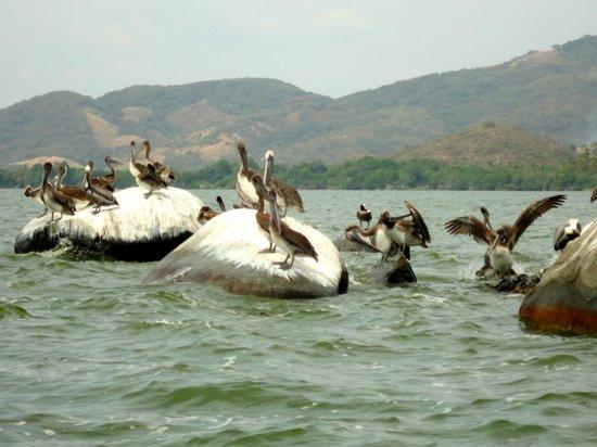 Laguna de Coyuca: Pelicans in Laguna