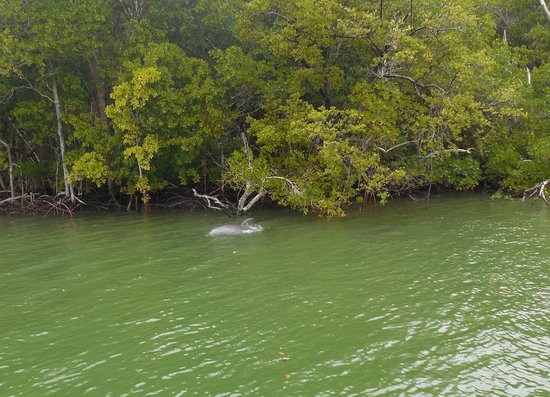 Everglades Day Safari: From our boat tour dolphins feeding in the mangroves