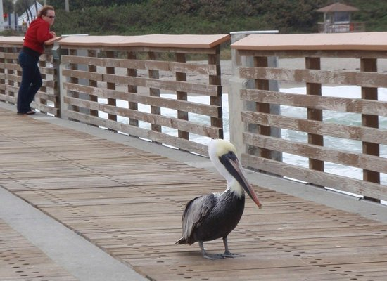 Juno Beach Pier : People aren't the only ones who fish here