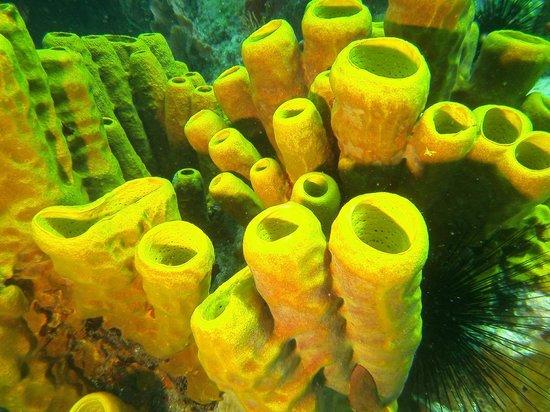 Iyanola Dive Ventures: Stovepipe coral